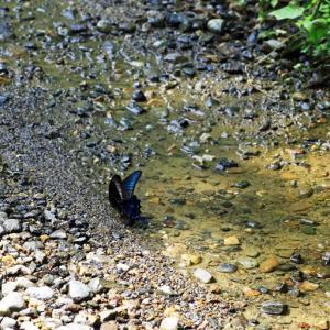 水を飲んでいるカラスアゲハ