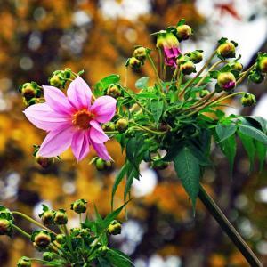 皇帝ダリアが咲きだした。