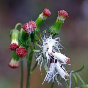 紅花襤褸菊