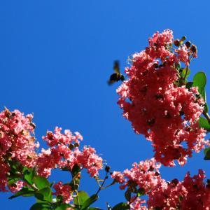 百日紅と熊蜂