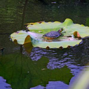 蓮の葉の上のミシシッピアカミミガメ