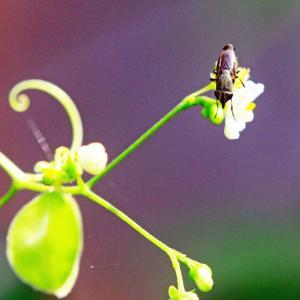 フウセンカズラに訪花のツマグロキンバエ