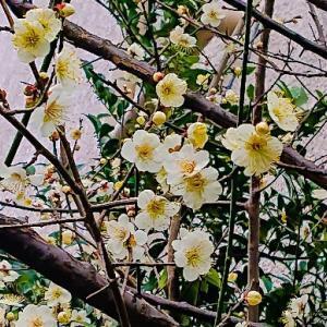 徐々に梅の花が、咲いて来ましたよ~っ♪v(*'-^*)^☆