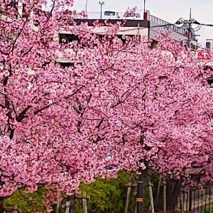 都内某所の川て、河津桜系が満開でした~っ♪v(*'-^*)^☆