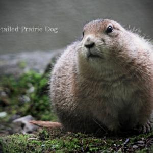 プレーリードッグ:Black-tailed Prairie Dog