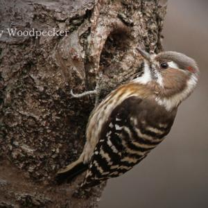 コゲラ:Japanese Pygmy Woodpecker