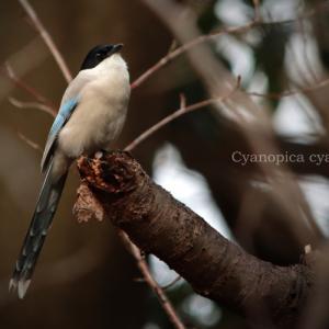 オナガ: Azure-winged Magpie