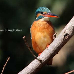 カワセミ:Common kingfisher