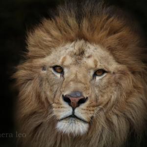ライオン:Lion