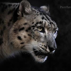 ユキヒョウ:Snow leopard