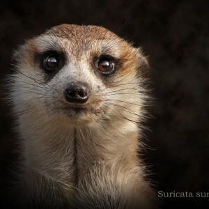 ミーアキャット:Meerkat
