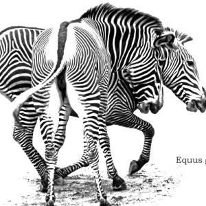 グレビーシマウマ:Grevy's Zebra