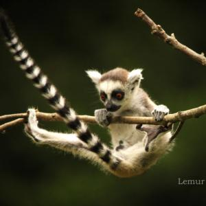 ワオキツネザル:Ring-tailed Lemur