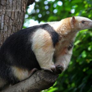 ミナミコアリクイ:Southern tamandua