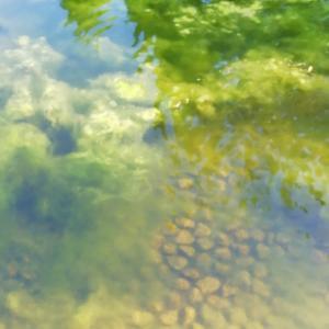 神宮東公園の池にばらまくちゃ~してからの経過。綺麗になってる!!