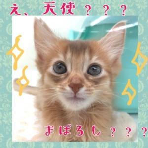 【ひごペット東淀川】ソマリ紹介♪