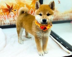 【ひごペット 堺プラット店】柴犬祭り~♪
