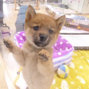 【ひごペットフレンドリーベルファⅡ都島店】 お目目クリクリ!!柴犬ちゃん♪