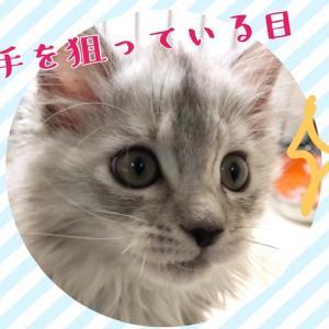 【ひごペット東淀川】メインクーン紹介♪