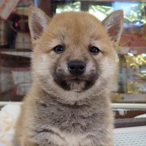 【ひごペットフレンドリーエミフルMASAKI店】柴犬ちゃん、ノルウェーちゃん♪