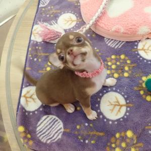 【ひごペットフレンドリーエミフルMASAKI店】チワワちゃん、マンチカンちゃん♪