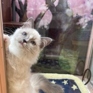 【ひごペットイオンモール高の原店】 可愛いネコちゃんのご紹介