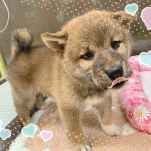 【ひごペットフレンドリーフジグラン神辺店】柴犬のご紹介♪