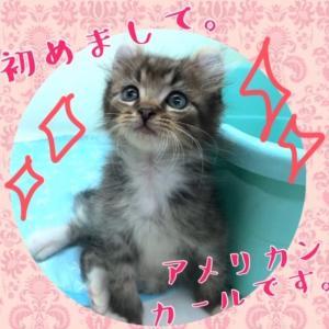 【ひごペット東淀川】アメリカンカール紹介(=^ω^=)♪