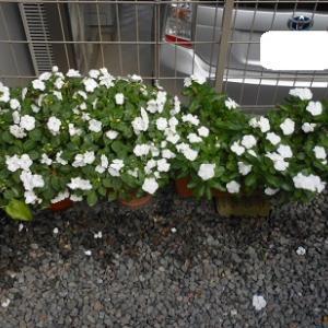 入居1年過ぎ 庭の植栽