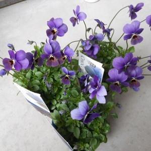 春の花ビオラを植えました