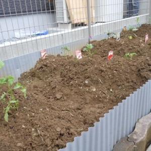 夏野菜を植えました