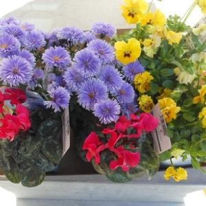 これから咲く花の苗を植えましたー