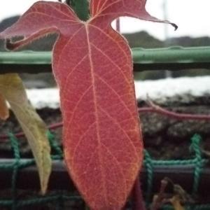 アサガオの紅葉