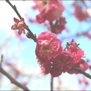 2月 山田池公園の梅がほころんでいます。