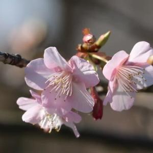 今日は立春 公園の川津桜がちらほら咲き始めました