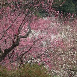 山田池公園の梅の花2020年 満開です。