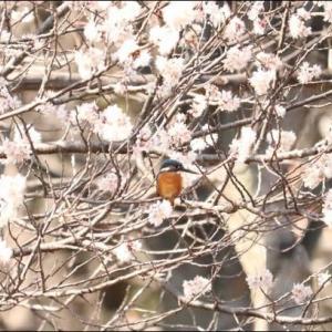 桜にカワセミ男の子・ヒュウガミズキにカワセミ女の子