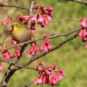春ですね~! 寒緋桜にメジロ 昨日のオシドリ