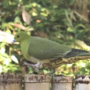 アオバト(緑鳩)