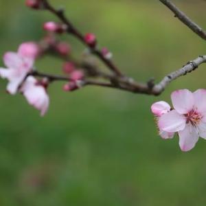 公園の春 アーモンドの花