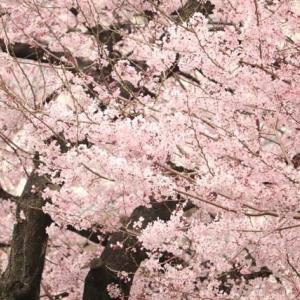 満開です。小学校の桜。