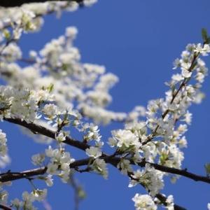 花の中のジョウビタキ 野の花 スモモ