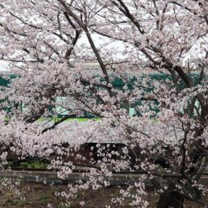 線路沿いの近場の桜 満開です