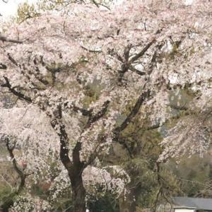 2020 糸さくらが綺麗です 私市植物園(大阪市立大学 理学部附属植物園)