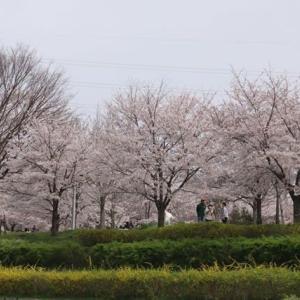 桜満開です。山田池公園