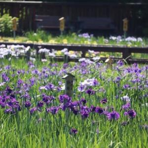 山田池公園の花しょうぶ園