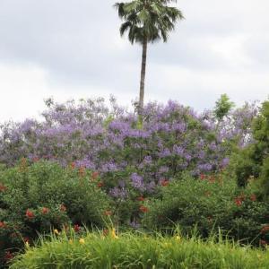 紫のさくらと言われる ジャカランダの花