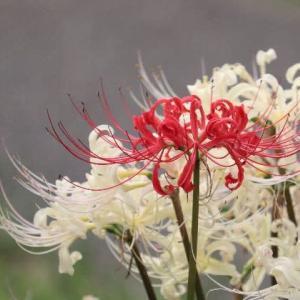公園の紅白の彼岸花 満開です