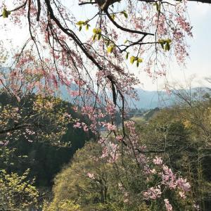 青梅の枝垂れ桜