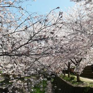 2020/04/04 星田妙見宮の桜
